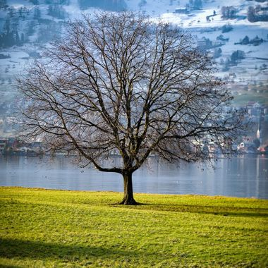 Beauty surrounds Lake Lucerne and this tree just stood out as a divide between the green spring like views and the white snow of the winter.