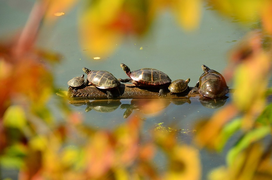 Painted turtles, surrounded by fall foliage, line-up on a submerged log for some October sun.