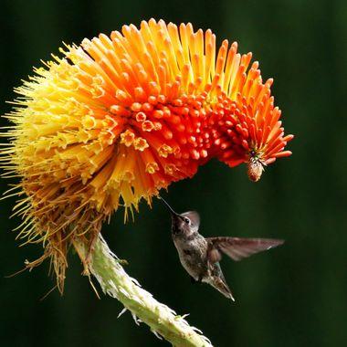 Hummingbird img_6274