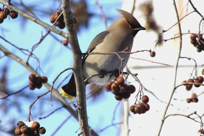 Waxwings in the city.