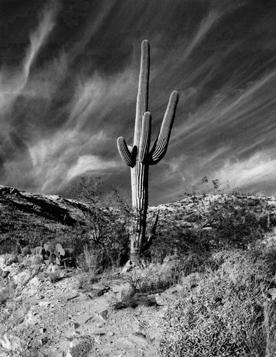 Saguaro Cactus and Wind Clouds, Tucson, Arizona