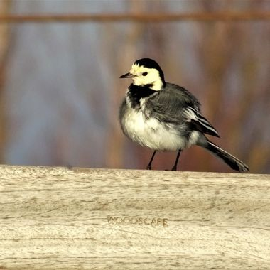 Patiently Observing a cute wagtail waiting for the perfect capture !