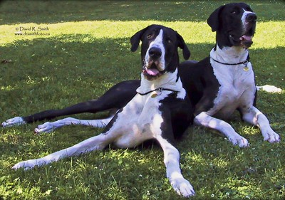 Orca & Oreo the 2 Mantle Great Dane Champion brothers - together - Photo by David R. Smith