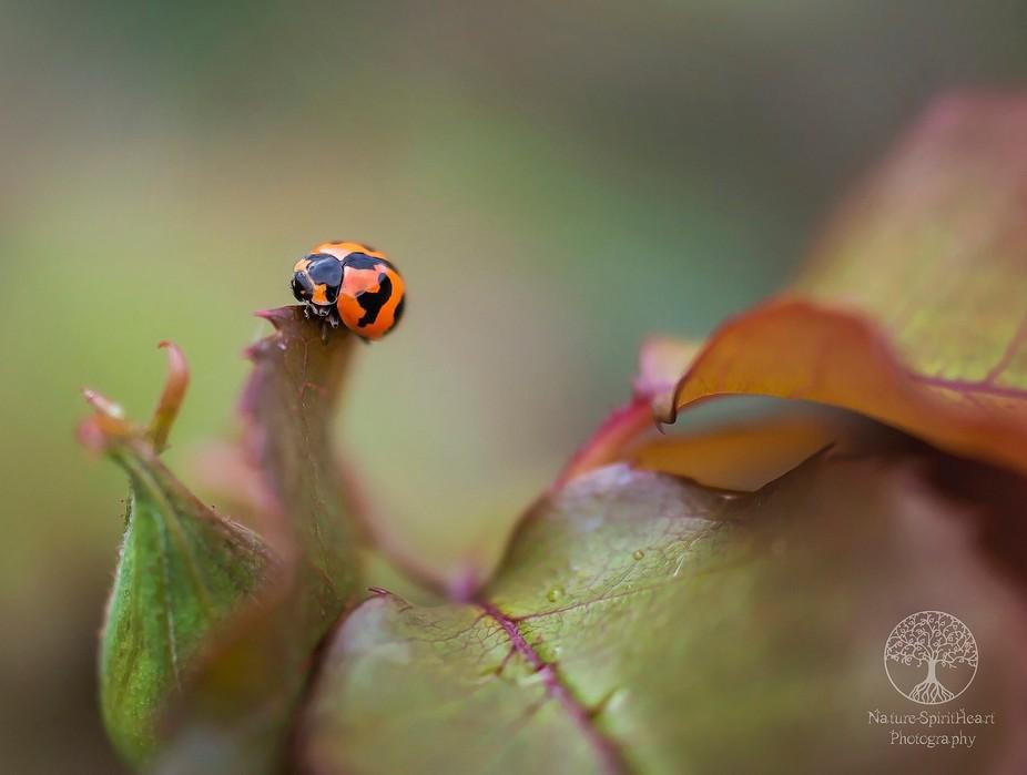 A little Ladybug in my garden : )