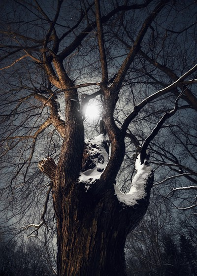Gnarled Maple in the Moonlight