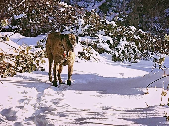Sydney, our Mastiff, my Service Dog