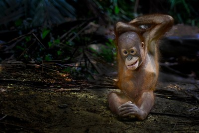 The act of juvenille orang utan
