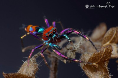 Elegant golden jumping spider (Chrysilla lauta)