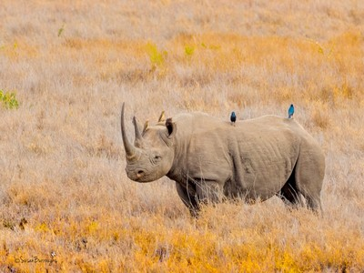 Rhinoceros with a yellow billed oxpecker and a superb starling on his back