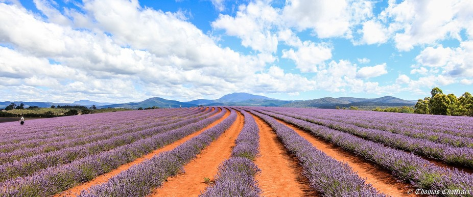 Photo taken at the Bledistowe Lavender farm in Tasmania, Australia
