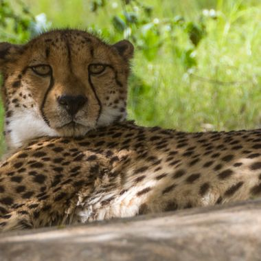 A resting cheetah checking out the guy taking his picture. Taken at the Living Desert, Palm Desert, California.