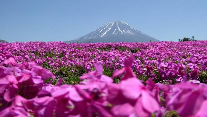 Moss Phlox in front of Mount Fuji by Tabithag - Explore Asia Photo Contest