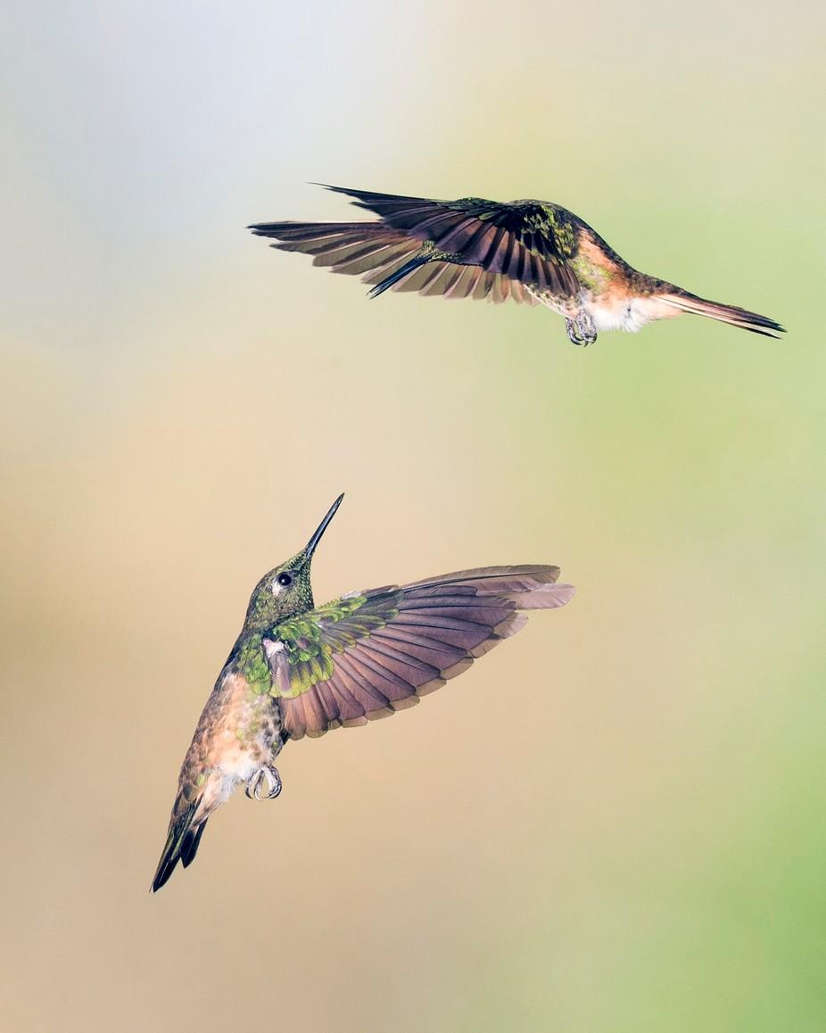 Hummer 2 by SunBear22222 - Hummingbirds Photo Contest