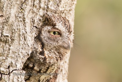 Eastern Screech owl (unedited version)