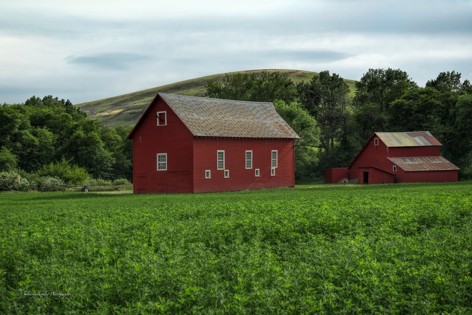 Barns in a quiet country field below the fertile hills of the Palouse, roofs rusting and patched ...