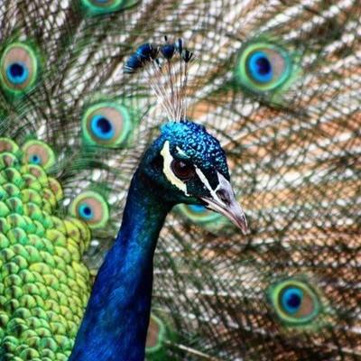 Stunning male peacock parading around the farmyard at Sondela #peacock #sondela @sondela_nature_reserve #africanamazing #southafrica #canon_photos #canon_official #ig_nature #ig_shotz #animals #naturelovers #igscwildlife #wild_mania__ #igw_nature #photoof