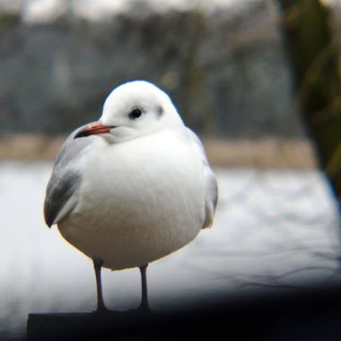 Black Headed Gull in winter plumage.