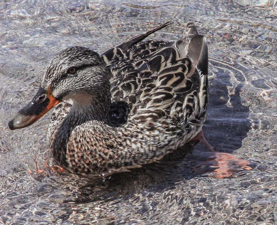 A pretty little duck in crystal clear water - springtime