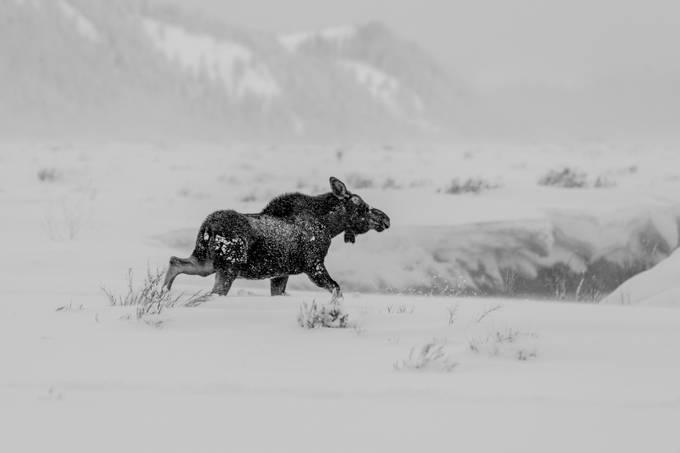 Deep in Jackson by bryonworthen - Wildlife Photo Contest 2017