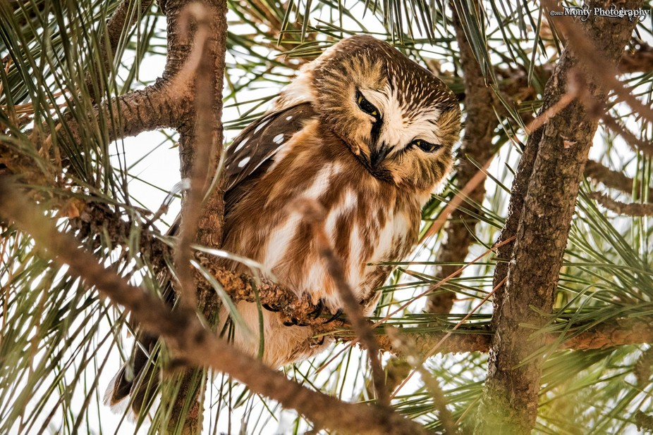 I was fortunate enough to capture this little guy perched midway up in a pine.  He stands only 6-...