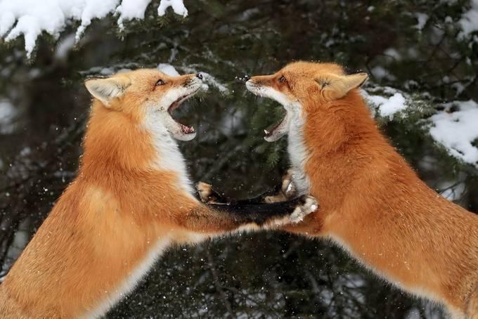 Fox Fun by meganlorenz - My Best Shot Photo Contest Vol 3