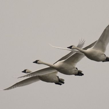 Three tundra swans at the Middle Creek Wildlife Management Area, Pennsylvania