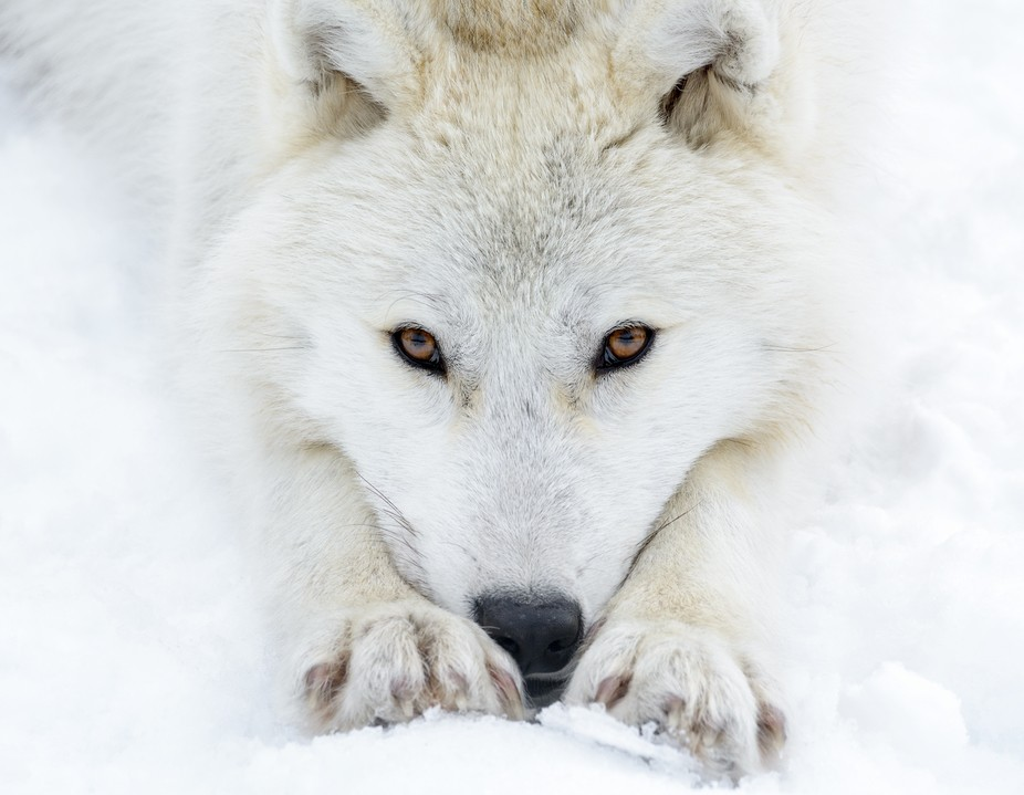 This beautiful female white wolf has eyes only for me... so peaceful !
