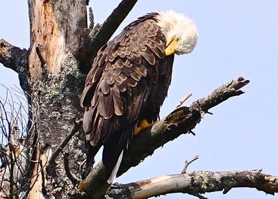 Bald eagle pruning its feathers while basking in the warm summer sun.