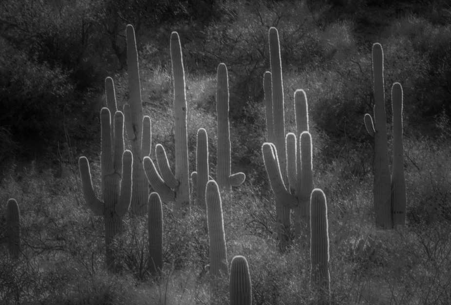 In the Sonoran desert a nice group of age old Saguaro cacti standing tall at sunset with the glow around the edges which are actually all their needles.