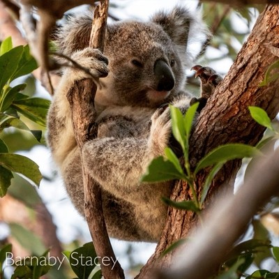 Koala on Magnetic Island!