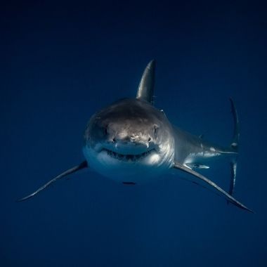 A Great White shark vertically ascending from the depths