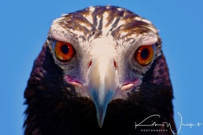Wedge-Tailed Eagle Portrait