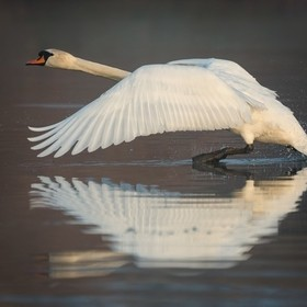 The swan ready for take of with some reflections