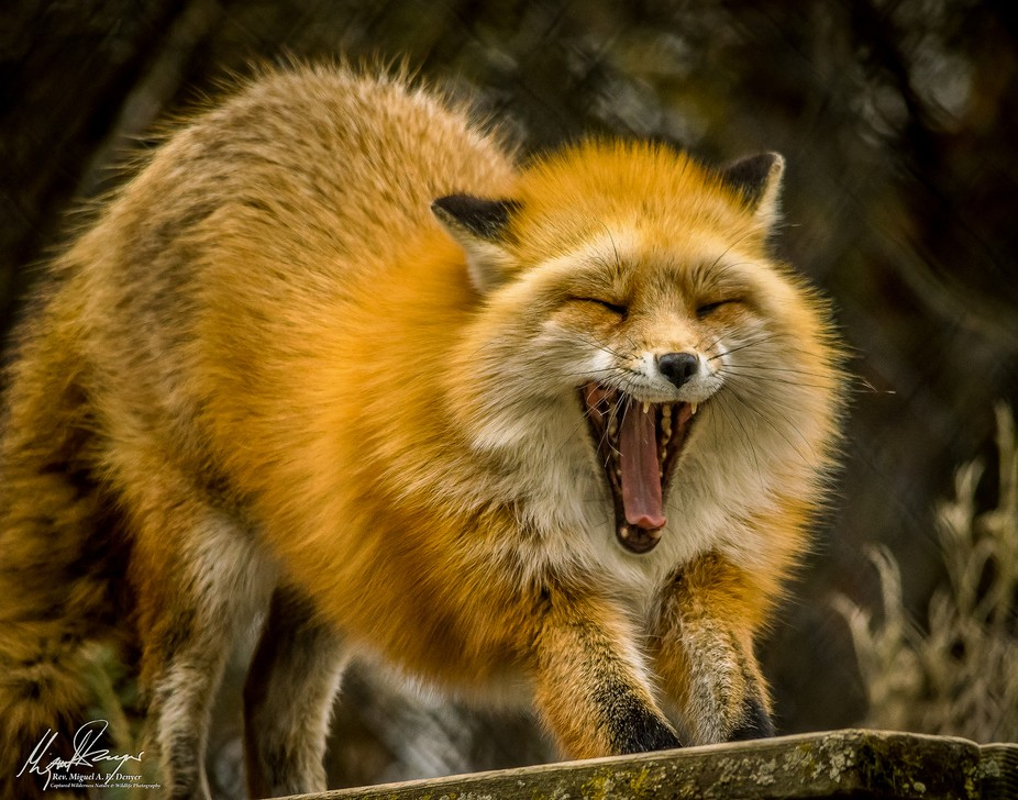 This is a captive Red Fox - it is in captivity at a Nature Center because it was injured and is n...