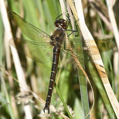 "Female ' Ranger"" Dragonfly (Procodula grayii)"
