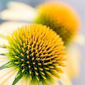 South African Yellow Cone Flower