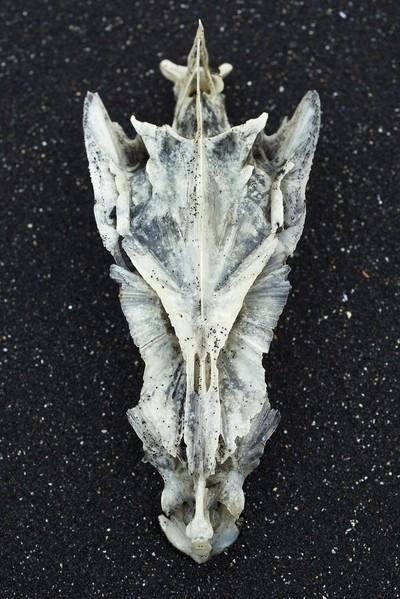Cod_Skull_Iceland