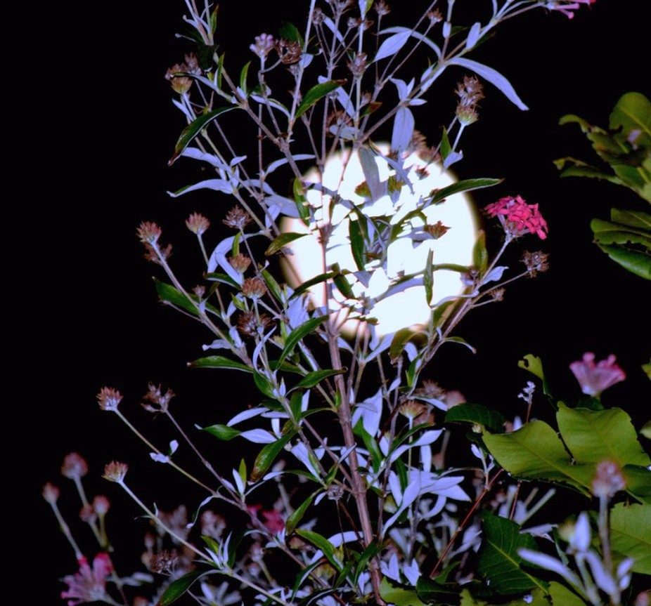 the full moon tonight behind flower bushes copy