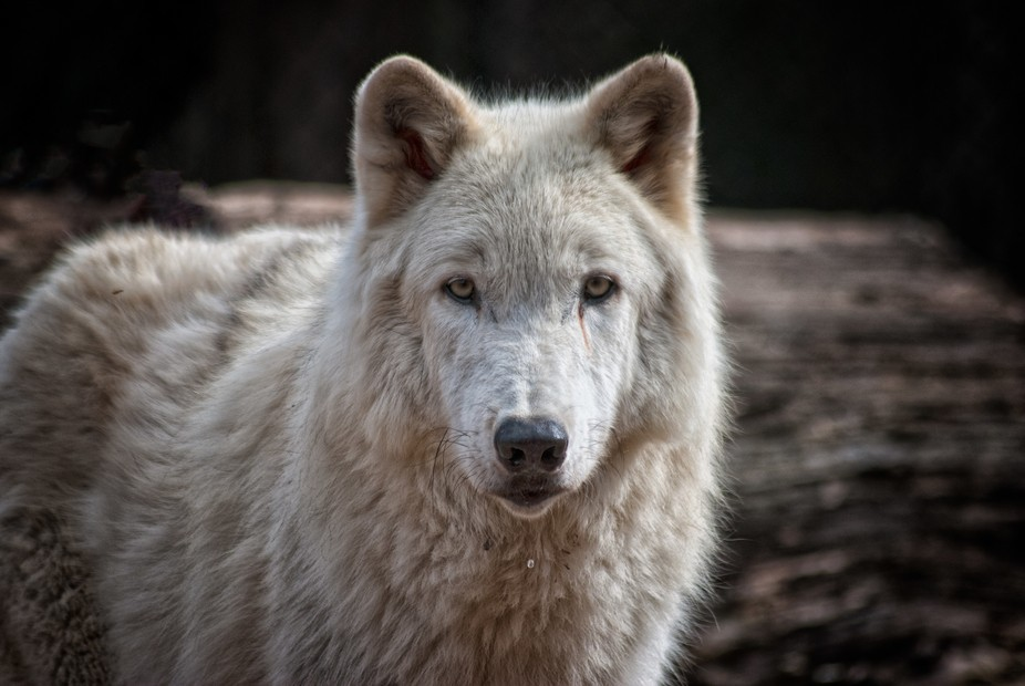 Wolf's Stare