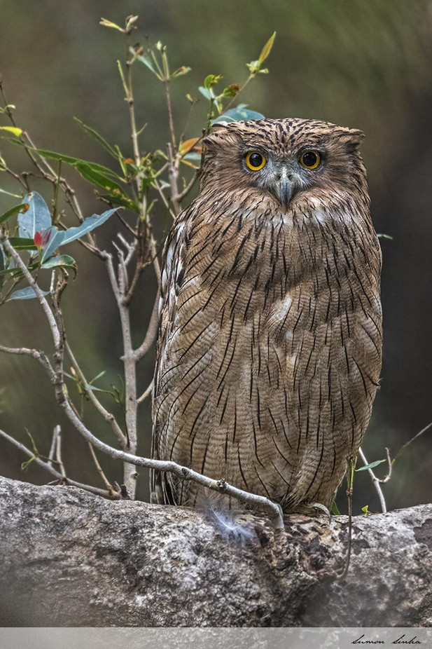 Brown Fish Owl by SumonSinha - Beautiful Owls Photo Contest