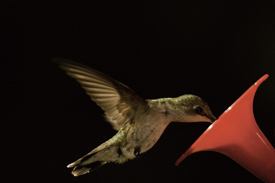 humming bird dark backround