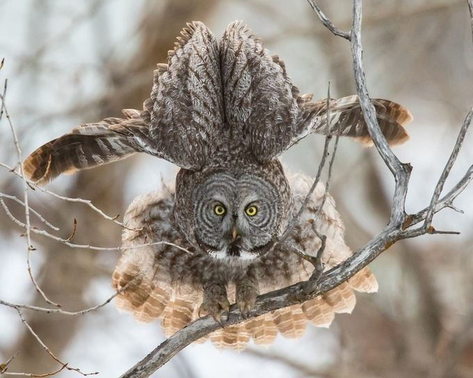 Great Gray Owl - the stretch  by Joecf - Anything Birds Photo Contest