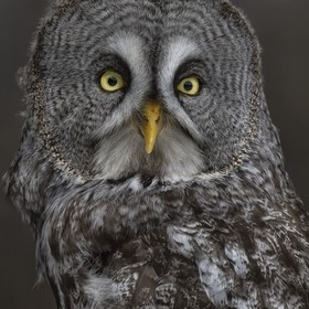 Portrait of a Great Grey Owl . Captive. Ontario.