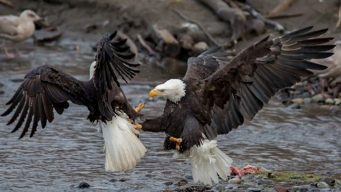 Bald Eagles of the Pacific Northwest by spiveydon - Just Eagles Photo Contest