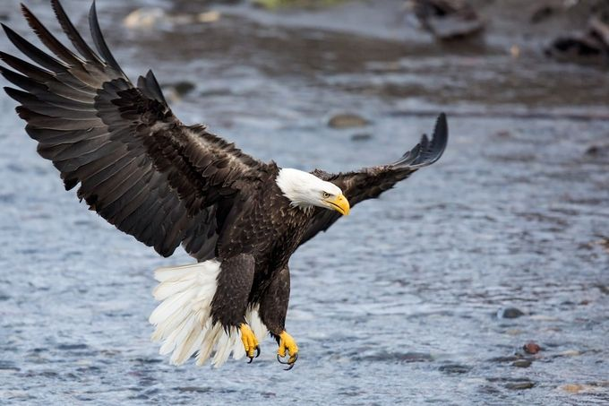 Bald Eagles of the Pacific Northwest by spiveydon - Majestic Eagles Photo Contest
