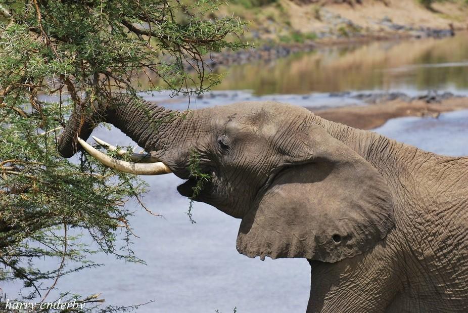 Lone elephant on the banks of the Mara river, Masai Mara Kenya