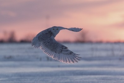 Snowy at Sunset