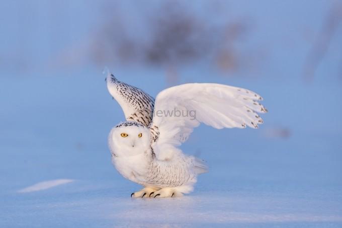 Snowy Eyes by karyntureckischiller - Winter Wildlife Photo Contest
