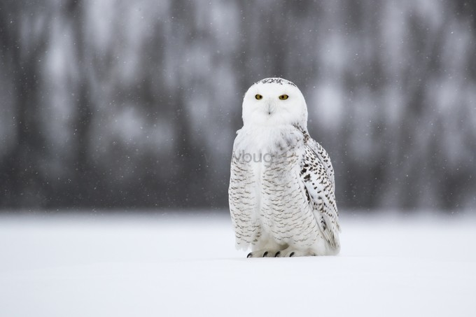 Snowy Portrait by karyntureckischiller - Only Owls Photo Contest