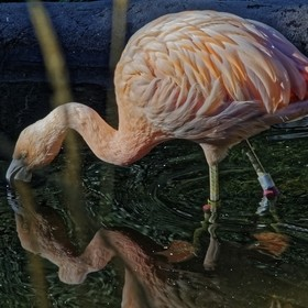 In a shallow pond, the Flamingo paused ...  and kissed the observed reflection,  then fell entranced ...  to a display of Flaming Frenzy Pastel. ...
